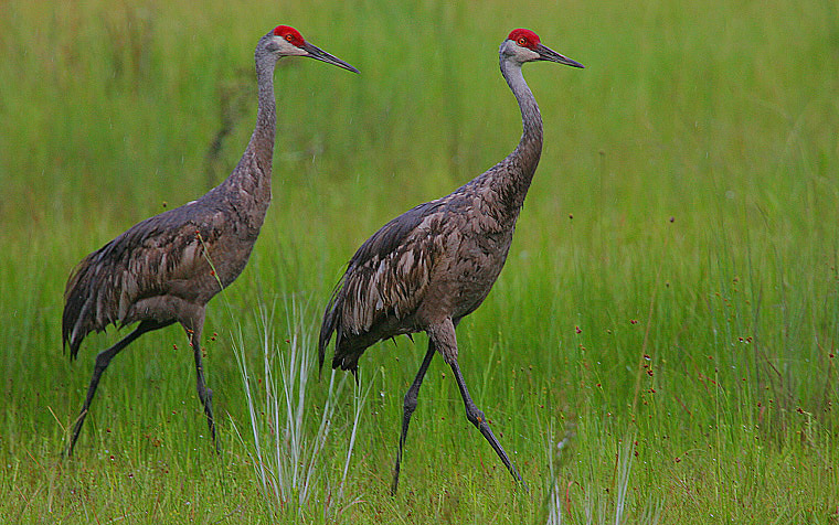 Sandhill cranes aren't native to WV, so residents could be caught off-guard by them, especially at night. Image by  Steve Garvie .