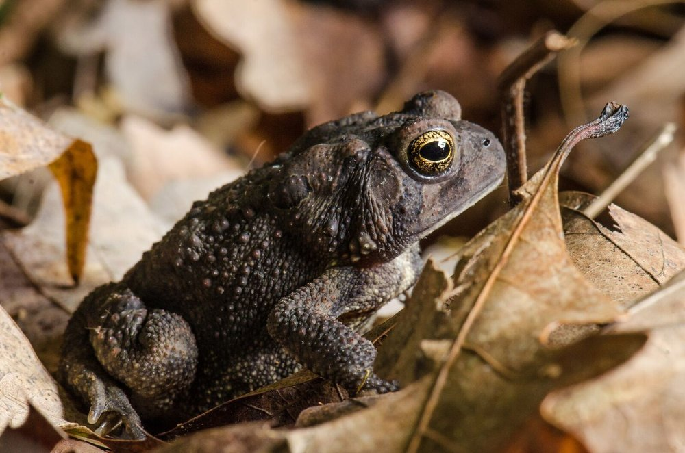 Brown toad (all toads are frogs). Image by    Spencer Cox   .