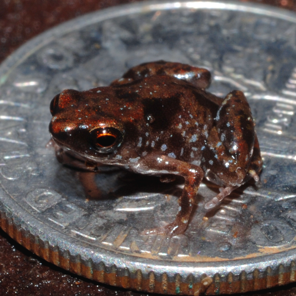 Paedophryne amauensis, the world's smallest frog, amphibian, and vertebrate, on a US dime. Image from    E.N. Rittmeyer et al.
