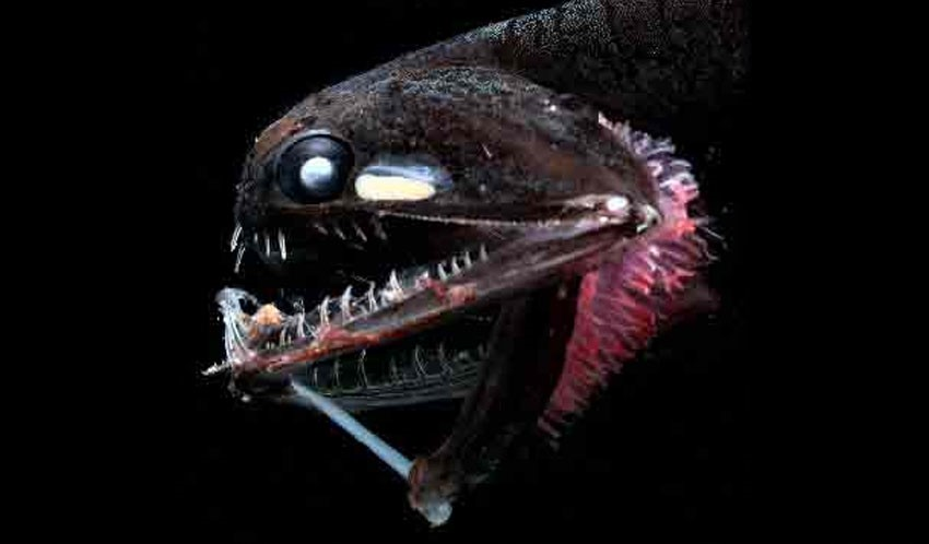 Life in the deep oceans can seem totally alien to us. Image from    NOAA   .