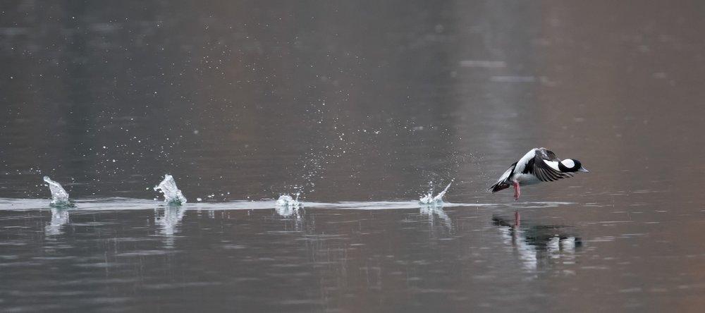 A bufflehead takes flight. Image by    Russ   .