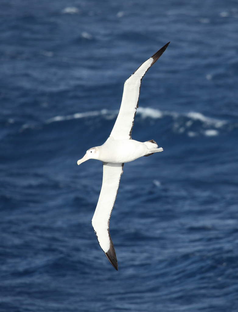 A wandering albatross over the southern Atlantic. Image by    Liam Quinn   .