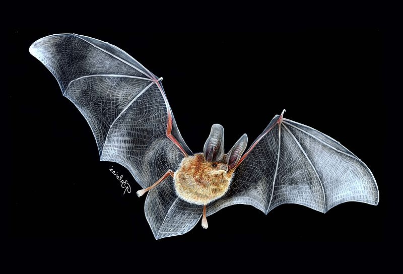 Bats' wings are essentially hands, modified to the extreme. Image by    Gabriel Ignacio Baloriani   .