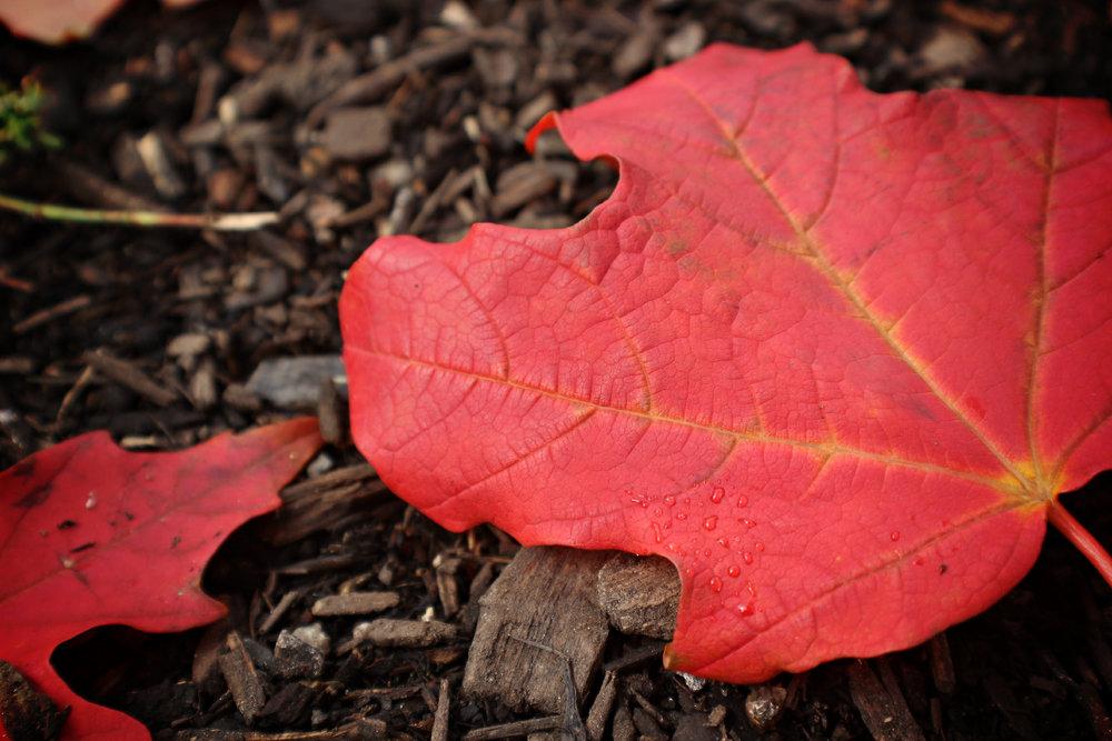 Red+Autumn+Leaf2.jpg