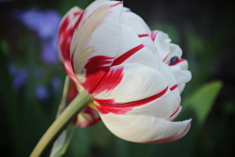 White+Magenta+Rose2.jpg