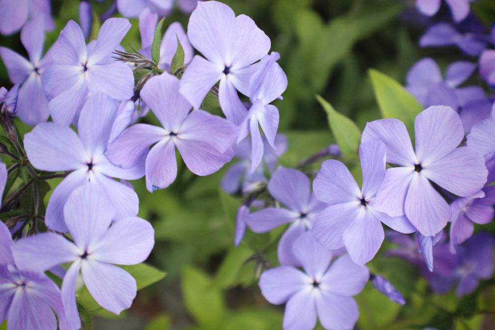 Small+Purple+Flowers2.jpg