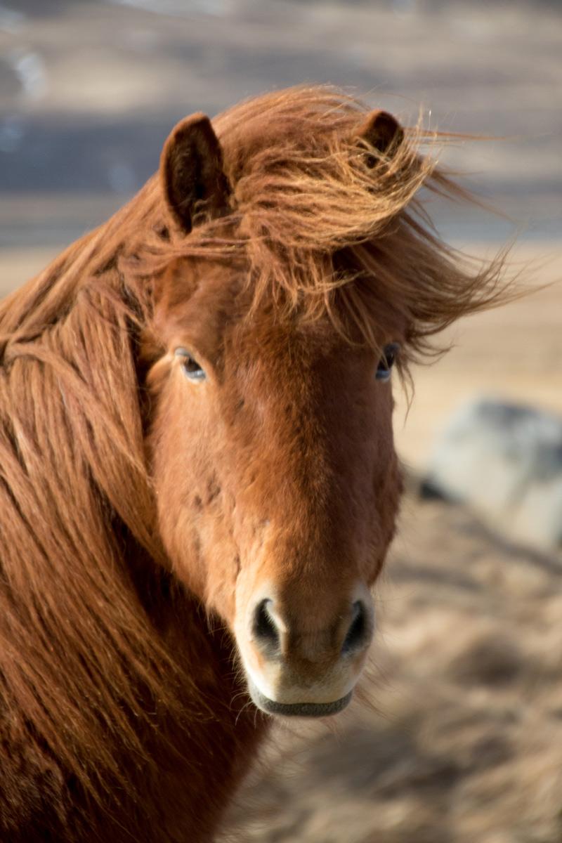Iceland-horse.jpg