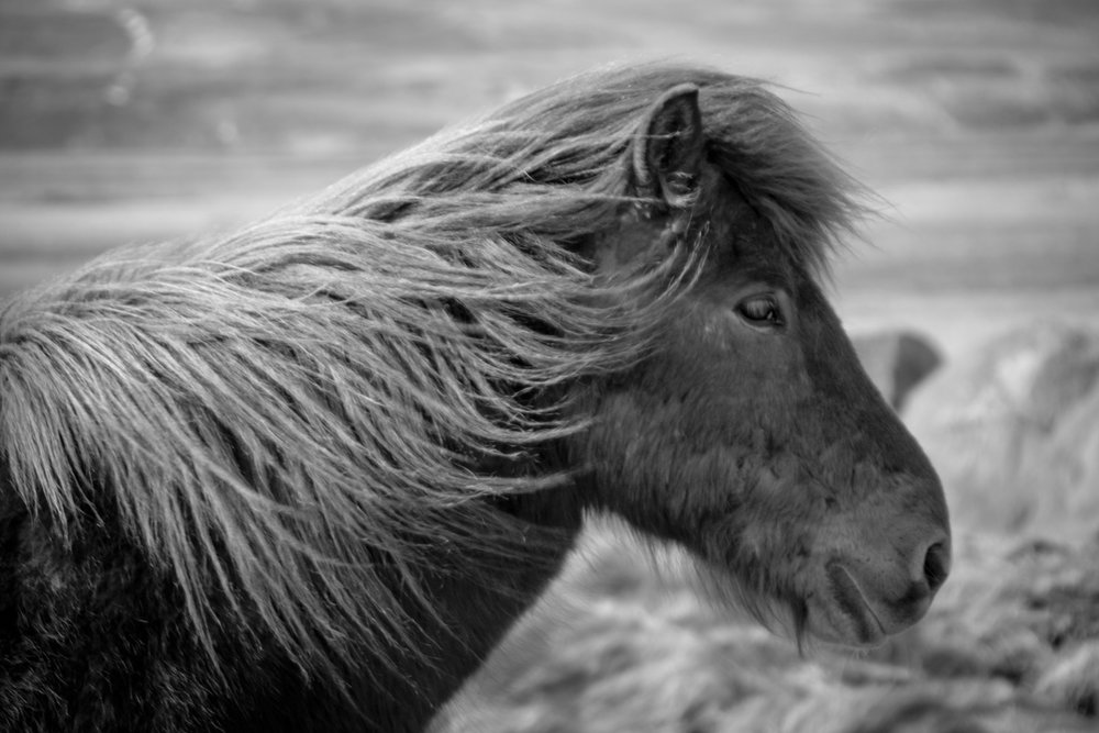Iceland-horse-bw.jpg