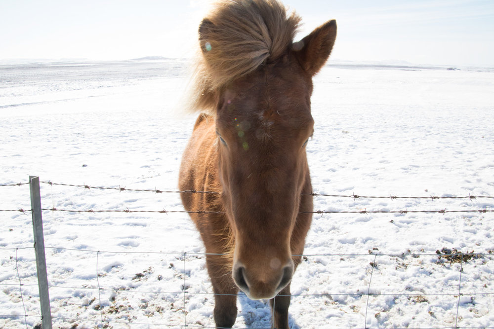 Iceland-horse-2.jpg