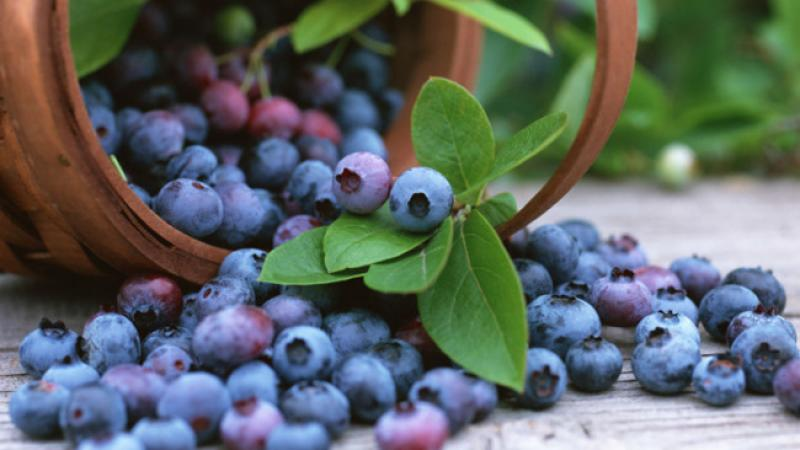 how-to-grow-blueberries-20150416163651-q75,dx800y-u1r1g0,c--.jpg