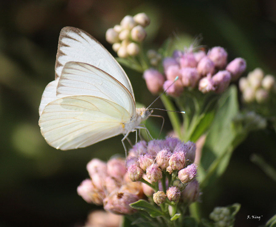 great-southern-white-butterfly-on-pink-flowers-roena-king.jpg