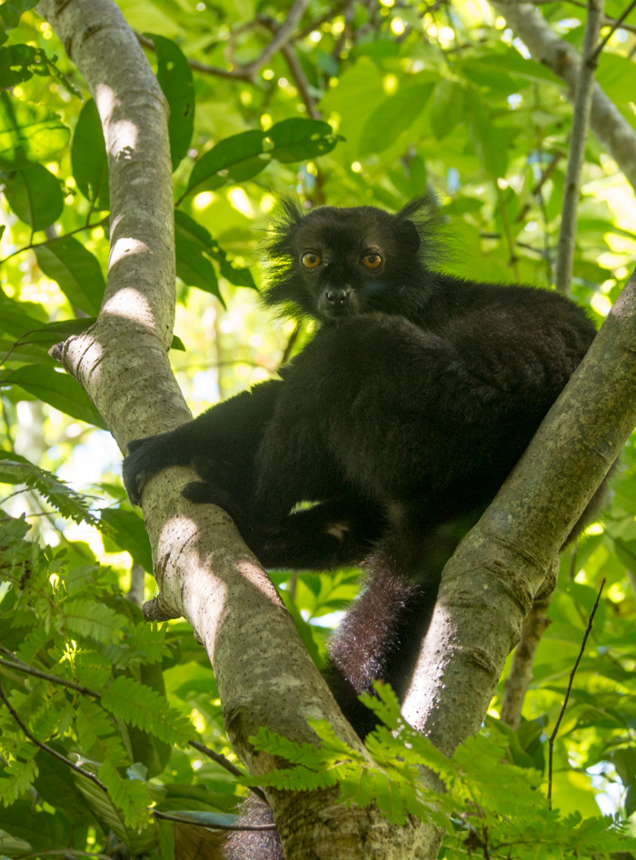 A Lemur chills in a tree in Nosy be