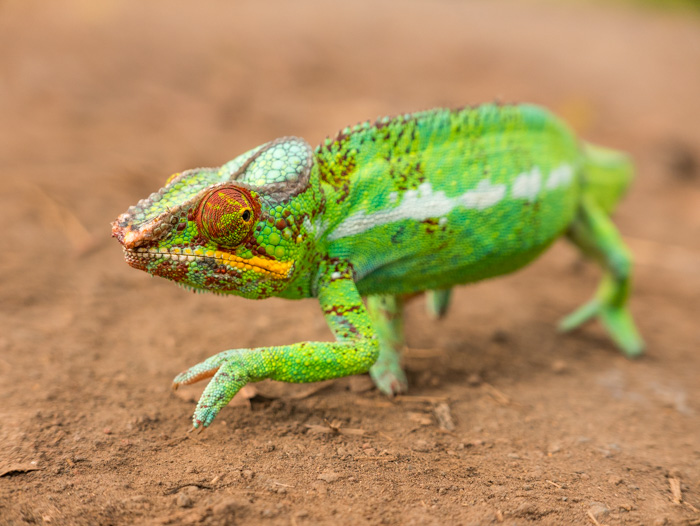 A Chameleon carefully crosses a back road in Nosy Be