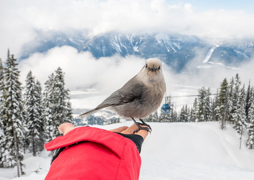 A friendly Whiskey Jack bird at Revelstoke, BC. Photo: Pete Oswald