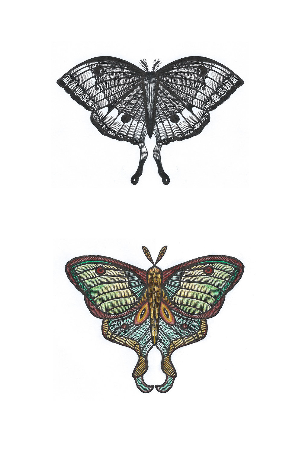 Luna Moths 2018