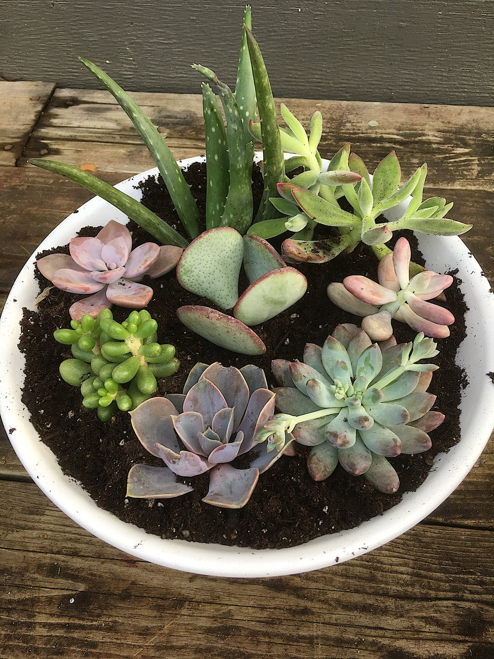 potted succulents with dirt.JPG