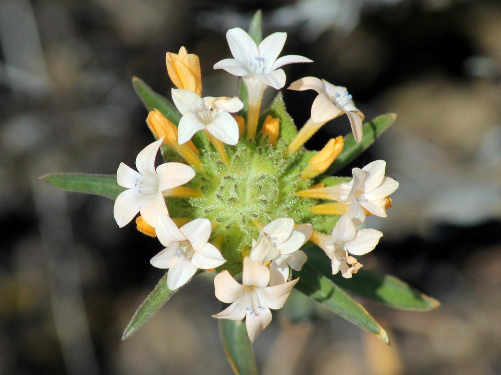 Large-flowered Collomia .jpg