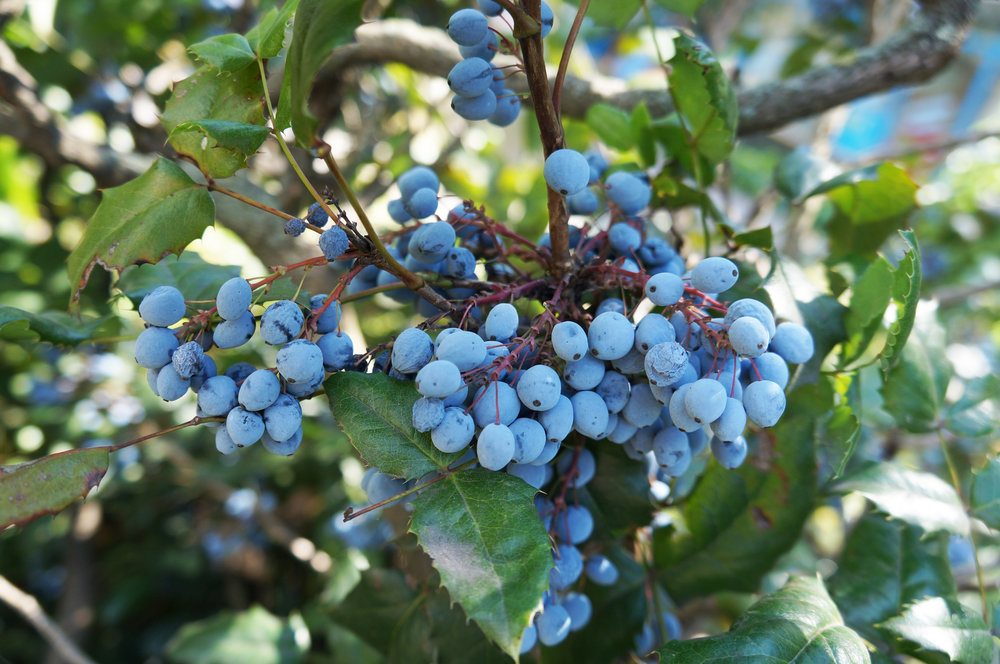 Oregon Grape.jpg