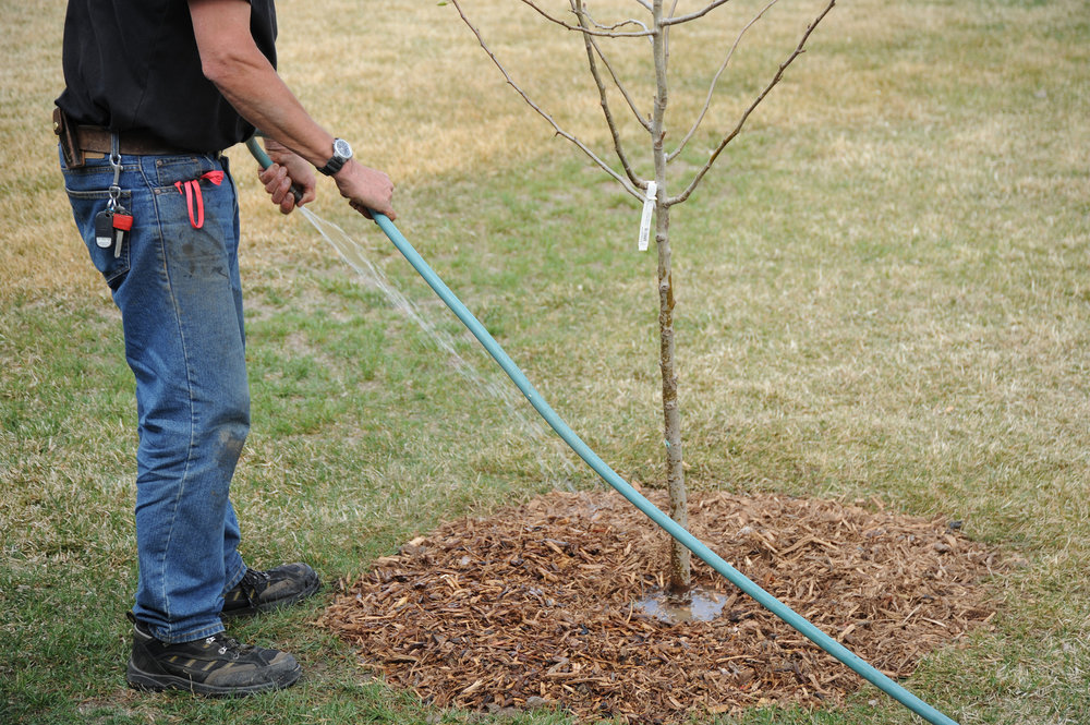 tree watering with mulch.jpg