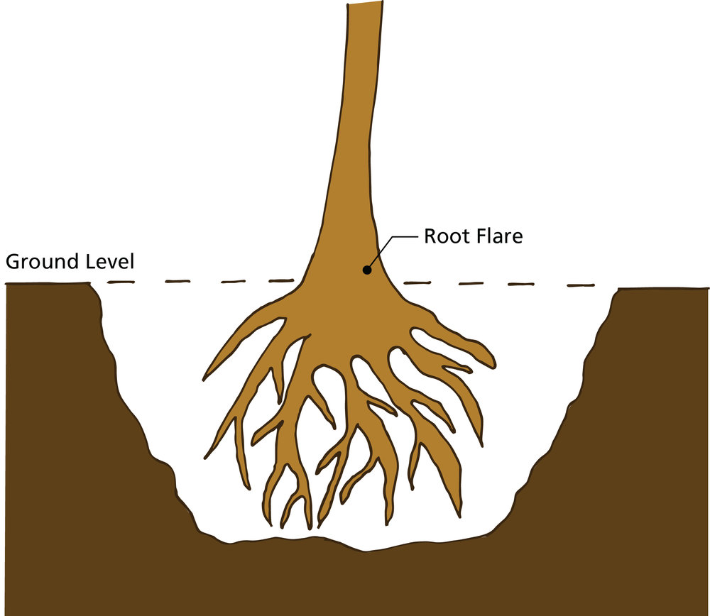 Tree planting illustration with root flare.jpg