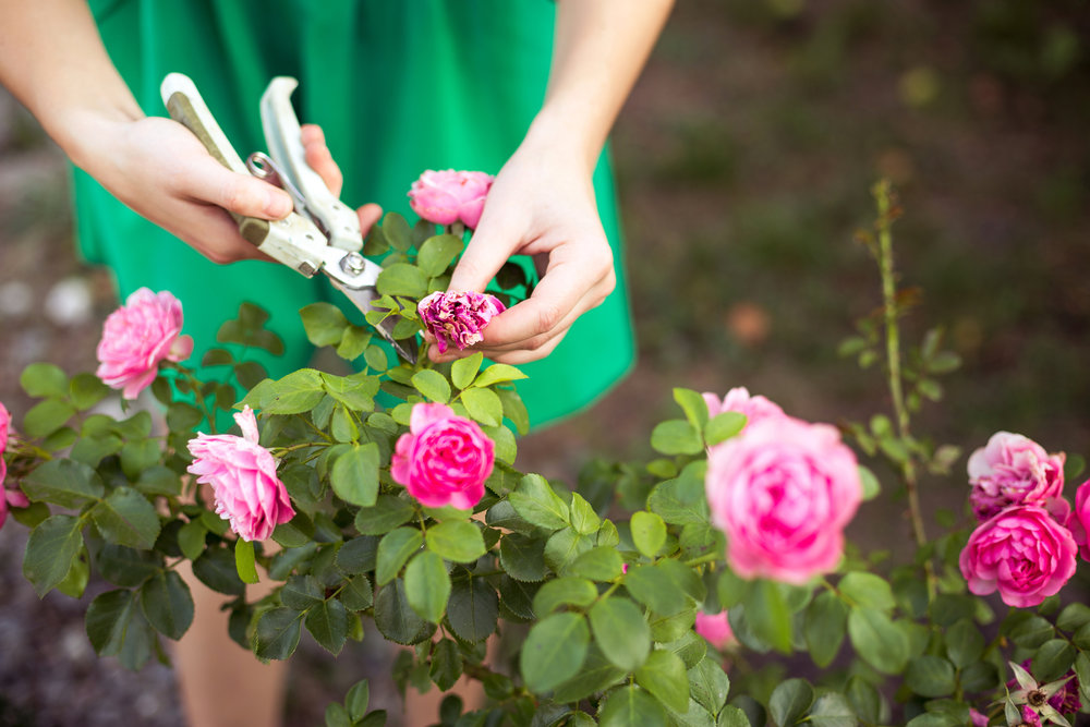 Pruneing Rose Bushes.jpg