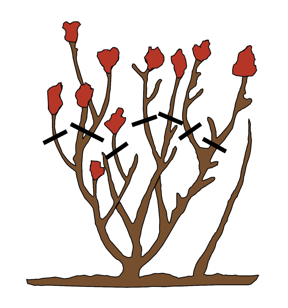 How to Prune Roses - Fall Pruning .png