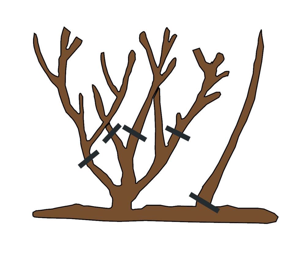 How to Prune Rsoes - Spring Pruning .png