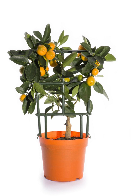 Kitchen - Calamondin Orange.jpg