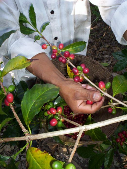 Coffee picking in Guatemala