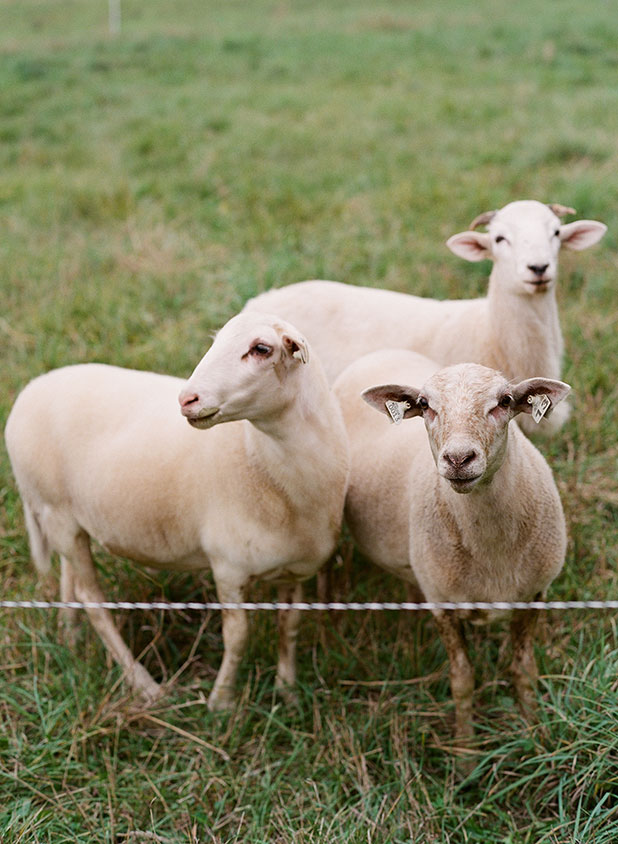 Travel photography and an image of lambs on an organic farm in rural Maine.