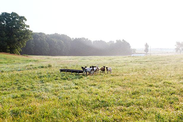 Sheep at sunrise on farm - Sarah Der