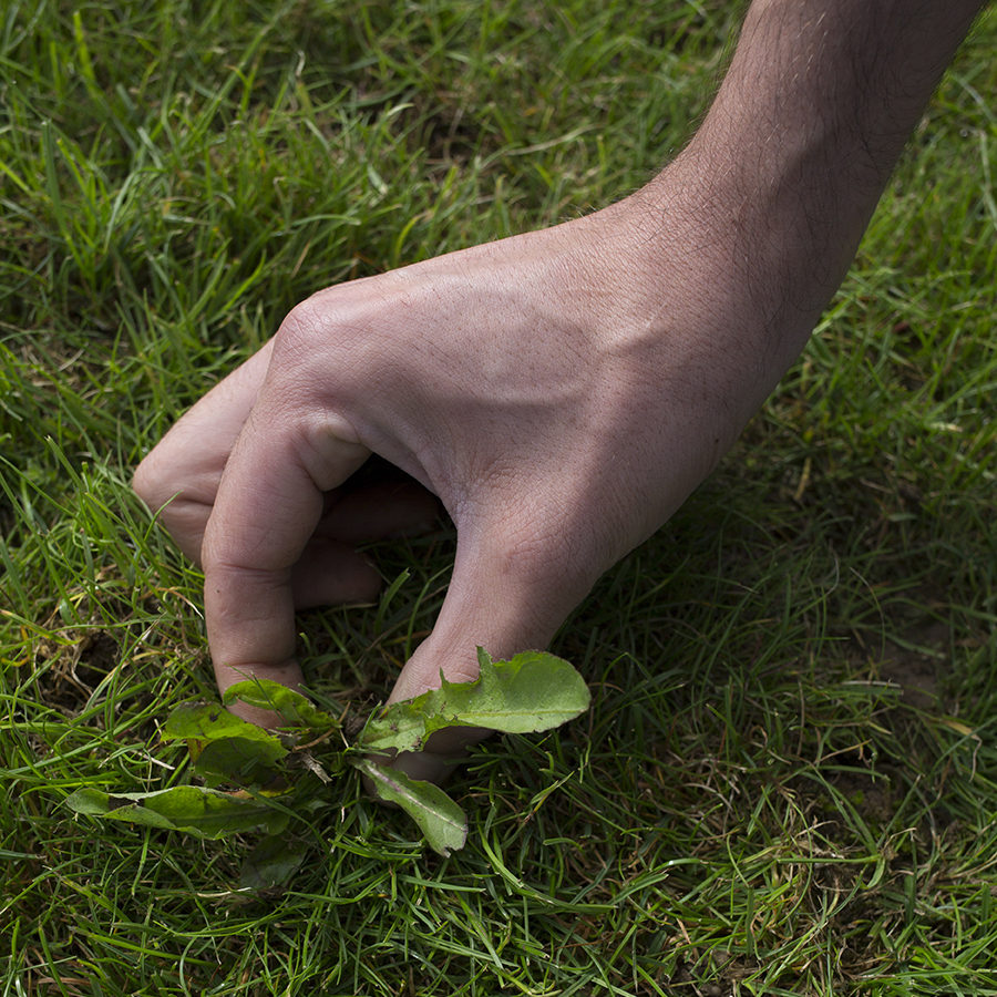 Example of a lawn weed