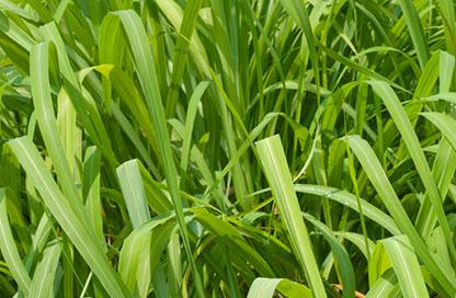 Lemongrass Oil -