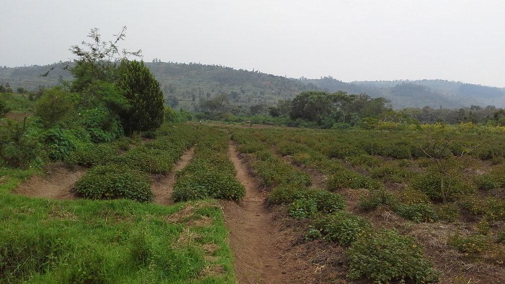 Patchouli field at Gahara site (Kirehe, Rwanda)