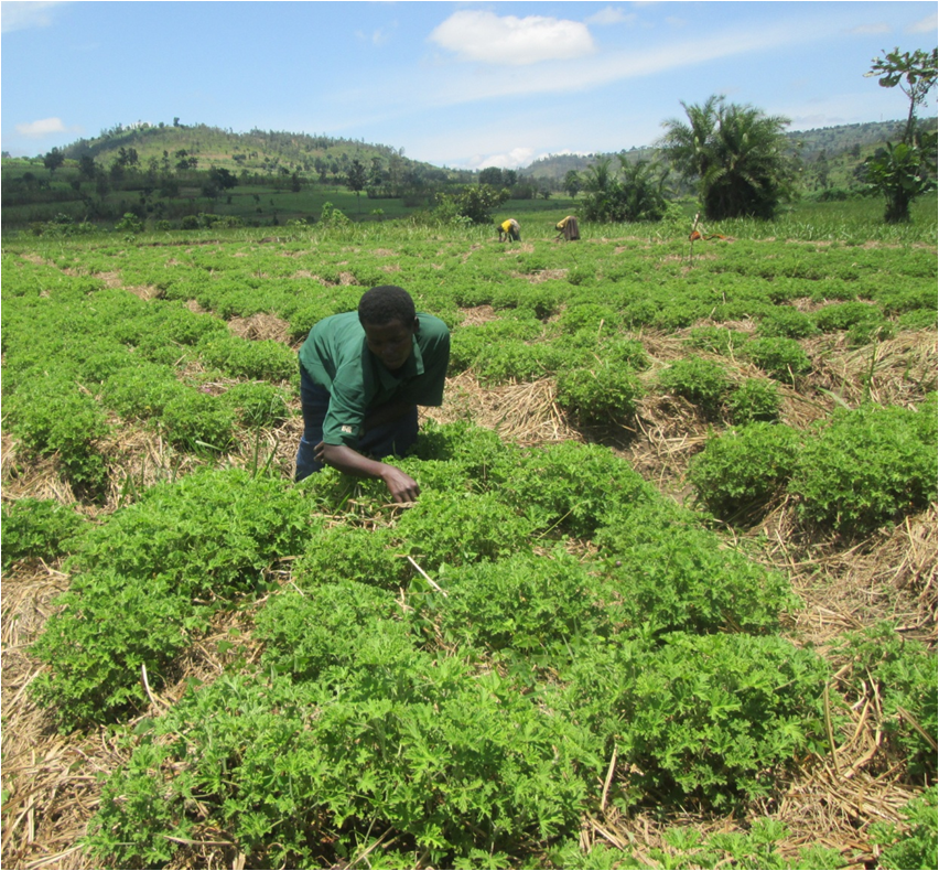 Women weeding their allocated plots on Ikirezi farm at Gahara site (Kirehe,Rwanda).