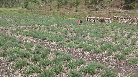Young rosemary plants at Gahara (Kirehe, Rwanda)