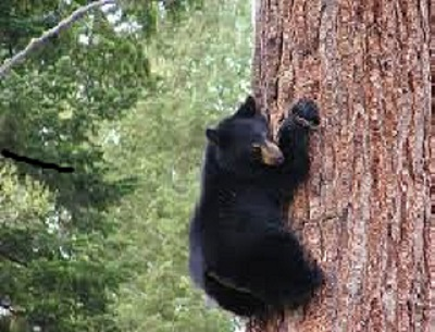 bear in tree.jpg