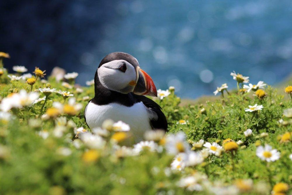 July — Puffins, Skomer Island — Laura Gibson