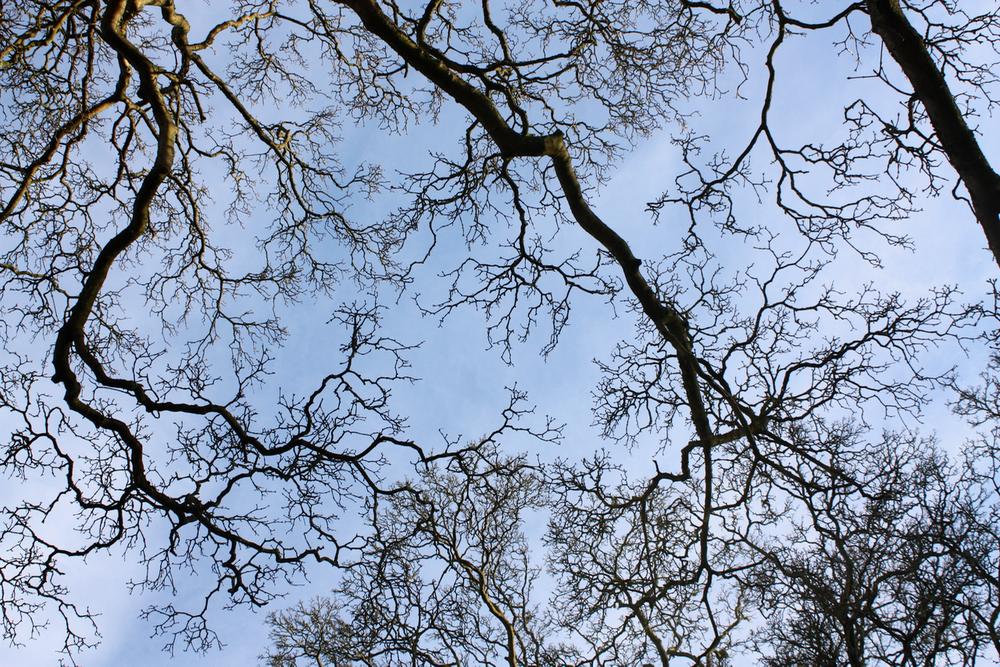Oak 2.png