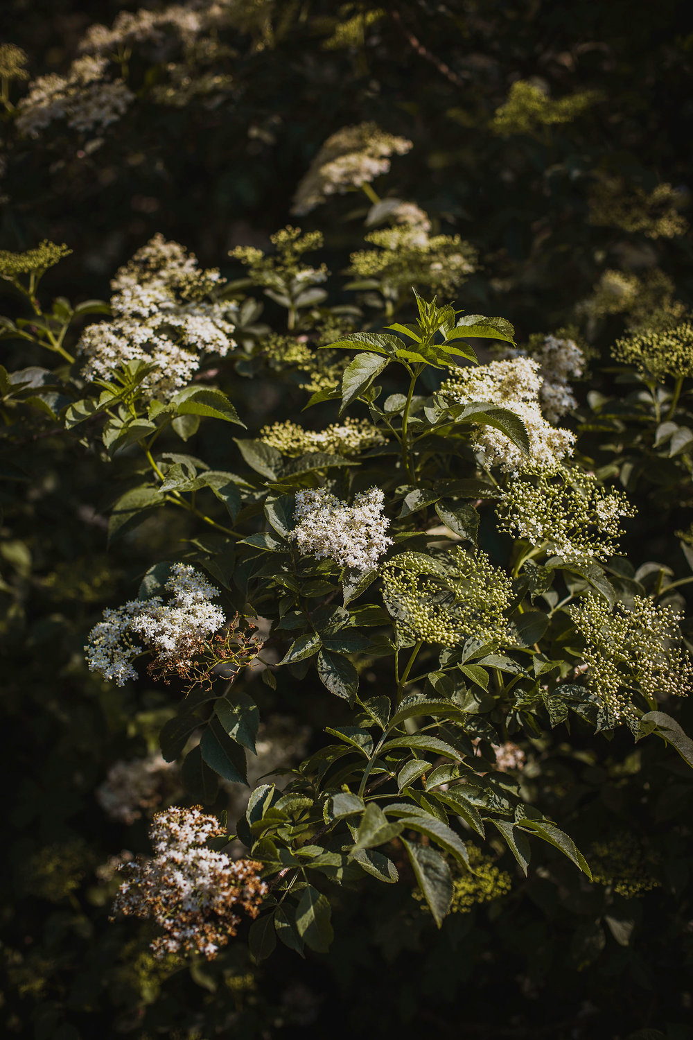 Elderflower-1.jpg
