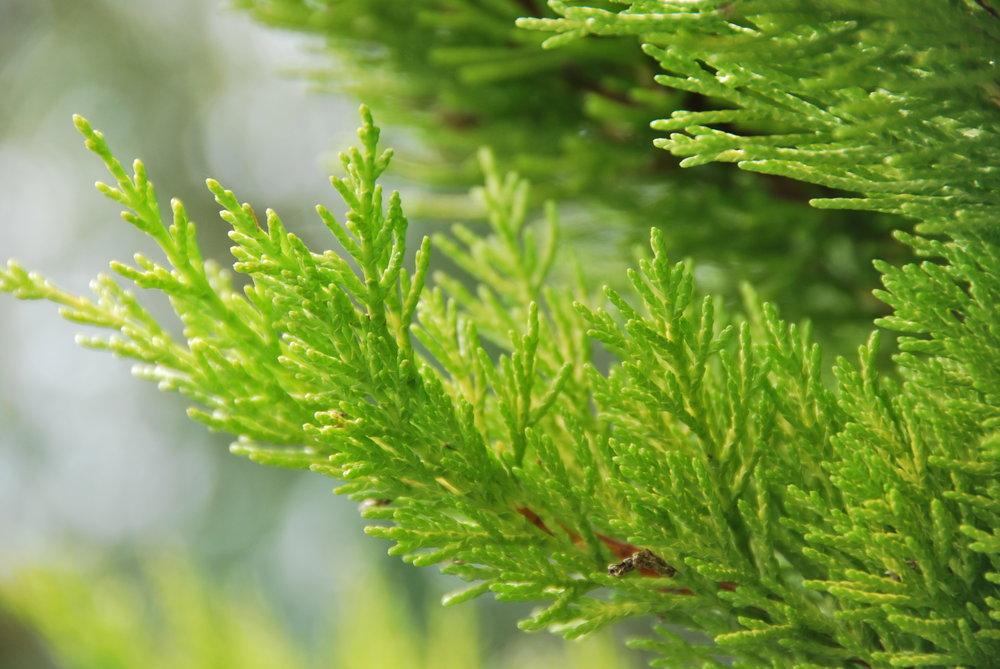 evergreen tree light green 2.jpg