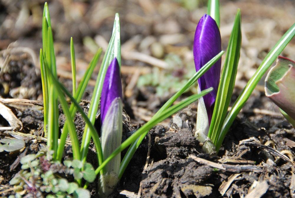 flowers purple new spring growth.jpg