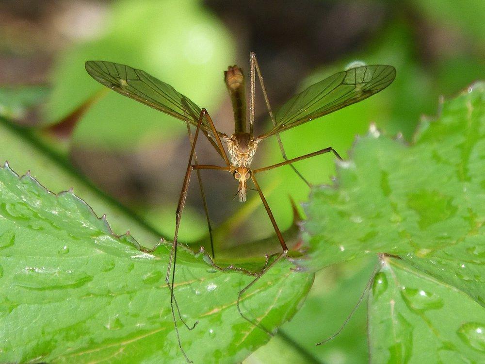 mosquito-1384020_1920.jpg