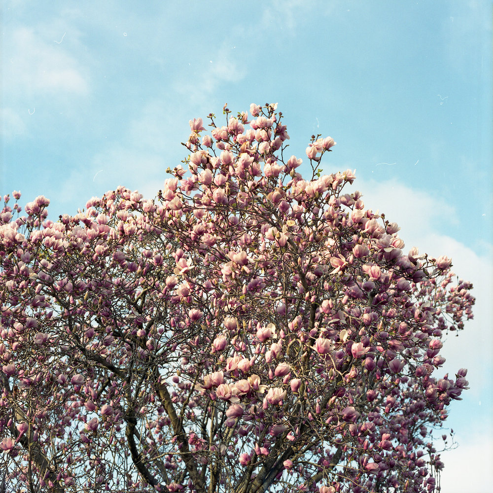 pink-tree-no-border.jpg