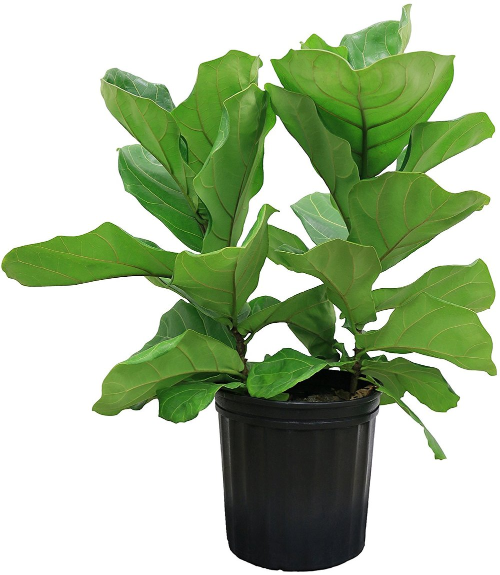 Ficus Pandurata in Pot