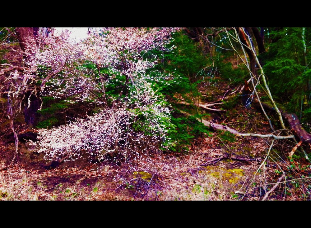 Pilgrim's Path-flowering tree