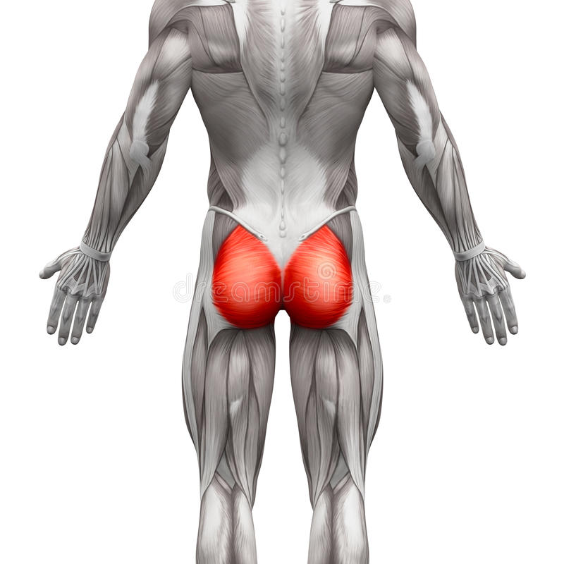gluteal-muscles-gluteus-maximus-anatomy-muscles-isolated-white-d-illustration-71504141.jpg