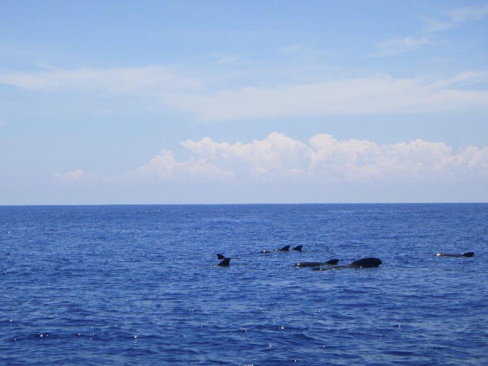 Pilot Whales Sri Lanka Colombo Sportfishing Lanka.jpg