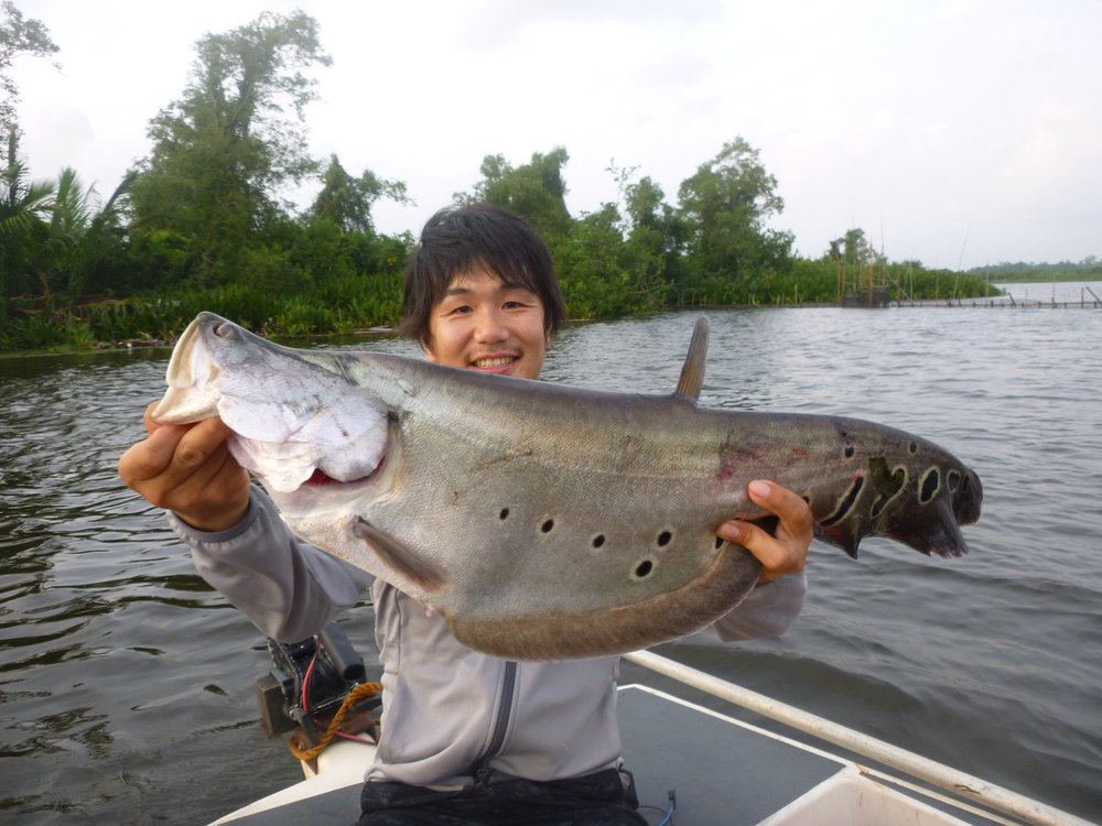 Featherback knife fish belida bolgoda lake sportfishing lanka.jpg