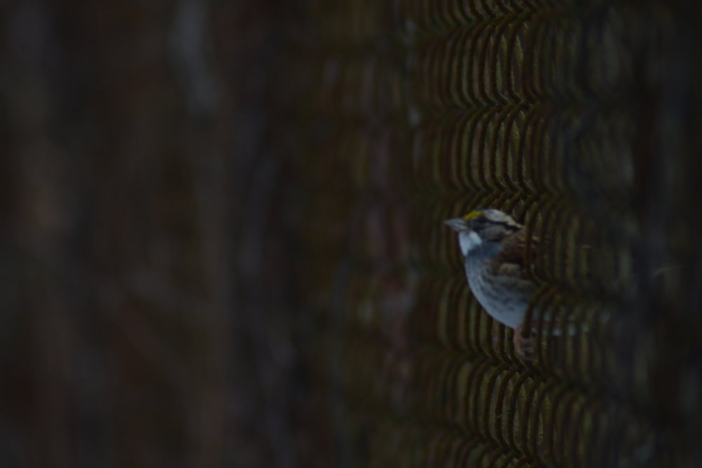 White Throated Sparrow on Fence